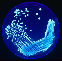 240px-Legionella_Plate_01.png